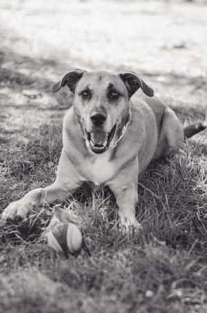 Mongrel dog portrait Happy Mongrel Animal Themes Ball Canine Day Dog Domestic Animals Field Full Length Grass Looking At Camera Mammal Mixbreed Mutt Nature No People One Animal Outdoors Pets Portrait Relaxation Sitting Smiling Toy
