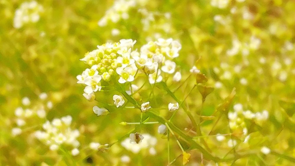 Shepherd's Purse Wild Plants Flower Nature Fragility Close-up No People Growth Beauty In Nature Outdoors Plant Freshness Focus On Foreground Uncultivated Day Springtime Flower Head