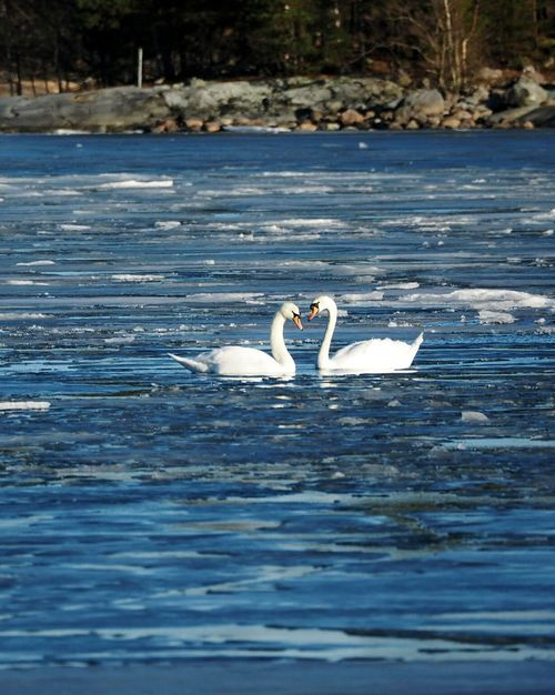 Swans In Love Animals In The Wild Water Nature Animal Wildlife Bird Animal Themes Swimming Beauty In Nature Sea Bird Beautiful Nature Winter Nature Outside Sunny Winter Day Swan Animals In The Wild Nature Swan On Ice Swan Couple Cold Temperature Sea Life Frozen Sea Animal Beauty In Nature Winter Ice