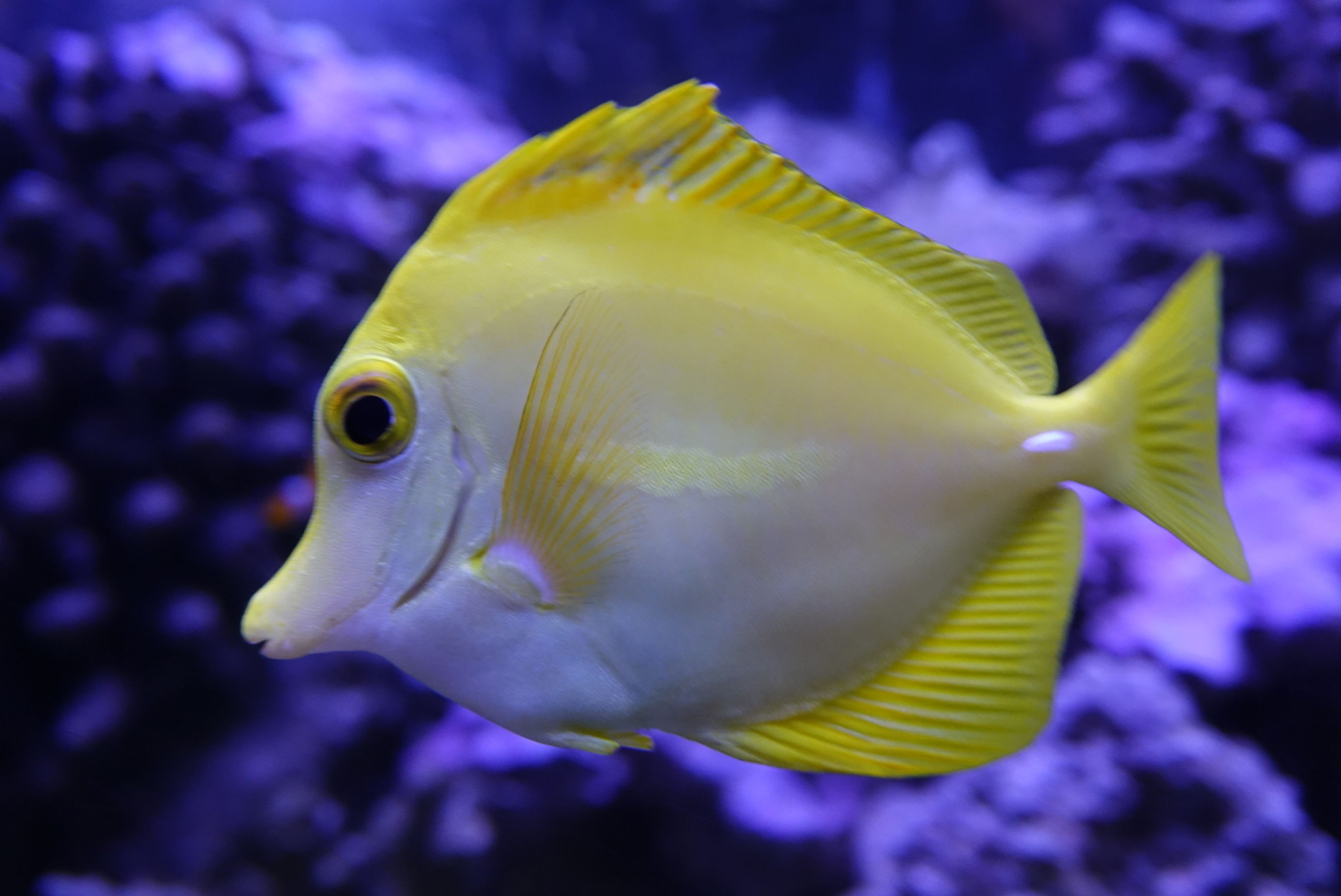 one animal, fish, underwater, sea life, animal themes, close-up, swimming, yellow, no people, focus on foreground, animal wildlife, undersea, animals in the wild, aquarium, water, sea, indoors, nature, day