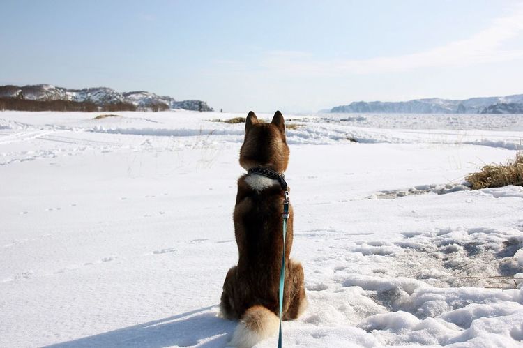 В ожидании весны..(Waiting for Spring..) Huskies Siberian Husky Kamchatka