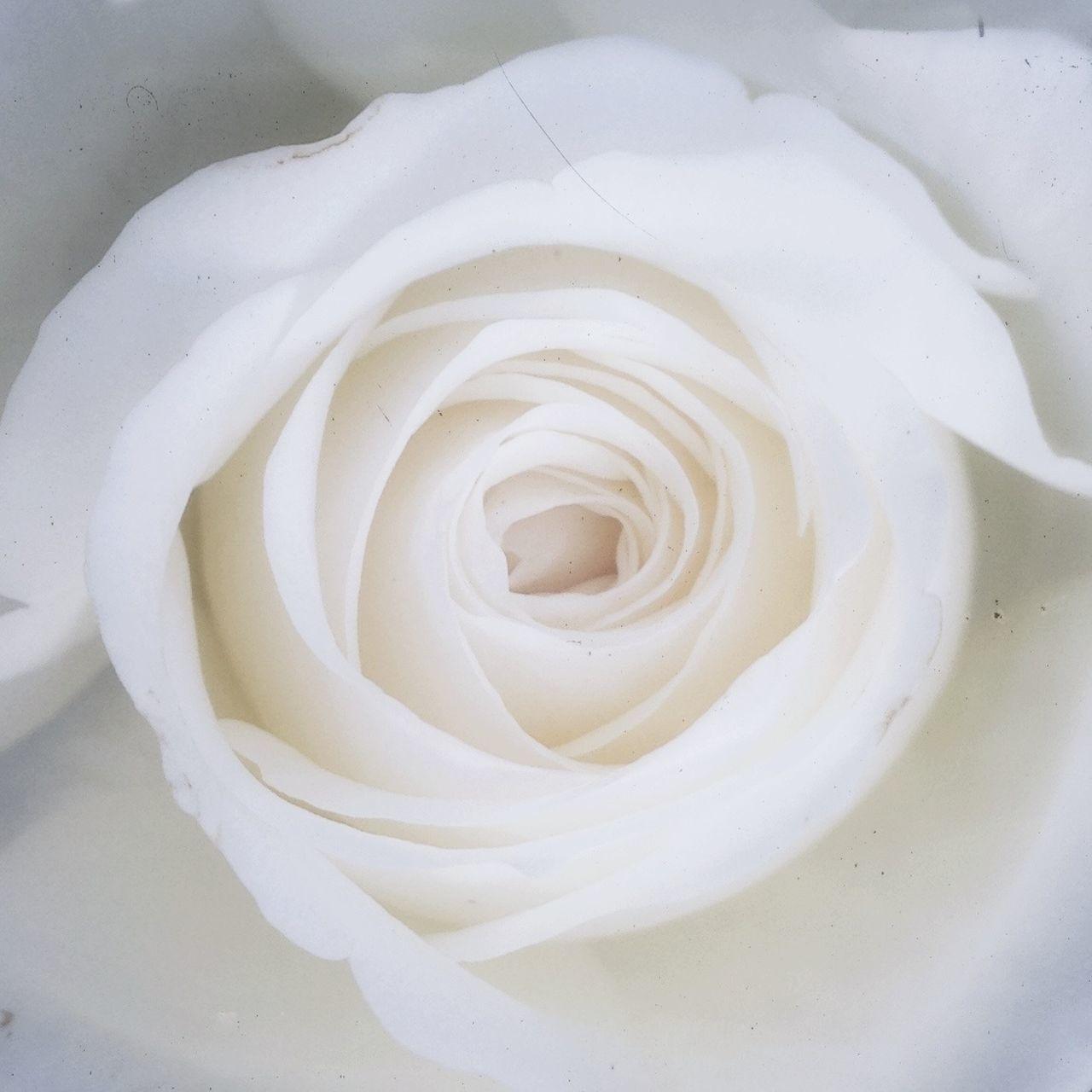 Detail shot of a white rose