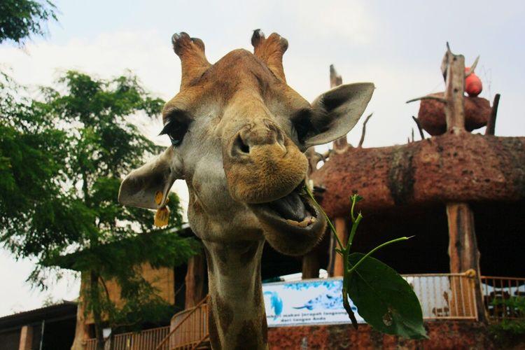 Eat eat eat 😋 Giraffe Batu BatuSecretZoo INDONESIA Jatim
