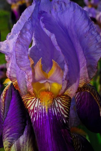 Flower Petal Fragility Nature Beauty In Nature Freshness Flower Head Close-up Growth Outdoors Purple Blooming Day No People Iris - Plant Plant New Jersey Photography New Jersey Iris Flower Beauty In Nature Plant Focus On Foreground Nature