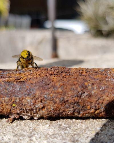 Pollen coated