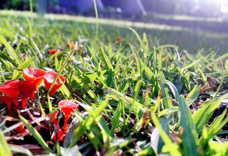 Nature Growth Freshness Close-up Plant Beauty In Nature Grass No People Outdoors Day Red Fly Agaric Mushroom