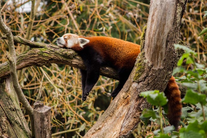 EyeEm Selects Animal Themes One Animal Plant Nature Red Panda Forest First Eyeem Photo