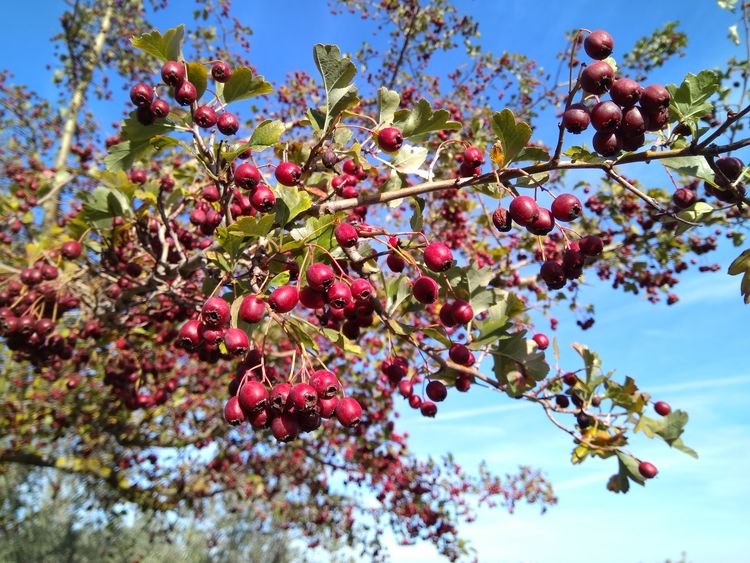 Red berries Tree Growth Fruit Branch Freshness Nature Beauty In Nature Outdoors Food And Drink No People Low Angle View Day Red Plant Leaf Sky Flower Healthy Eating Berries Berries On A Branch Fall Winter Blue Sky TreePorn Red Color Be. Ready. EyeEmNewHere