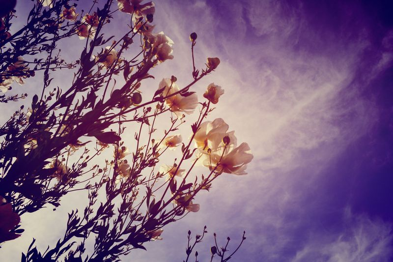 Pure Energy Sky Nature Low Angle View Tree Growth Beauty In Nature Sunlight Outdoors No People Flower Sun Sunbeam Cloud - Sky Day Branch Freshness Fragility EyeEmNewHere