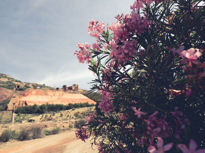 Pink flowers on tree against sky
