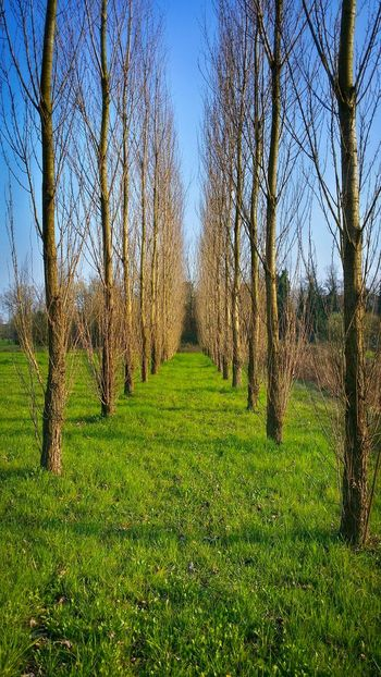 Pordenone Italy Travel Photography Travel Traveling Mobile Photography Fine Art Walking At The Park Nature Double Line Of Trees Poplars New Green Grass Vertical Lines Cross Shadows Mobile Editing