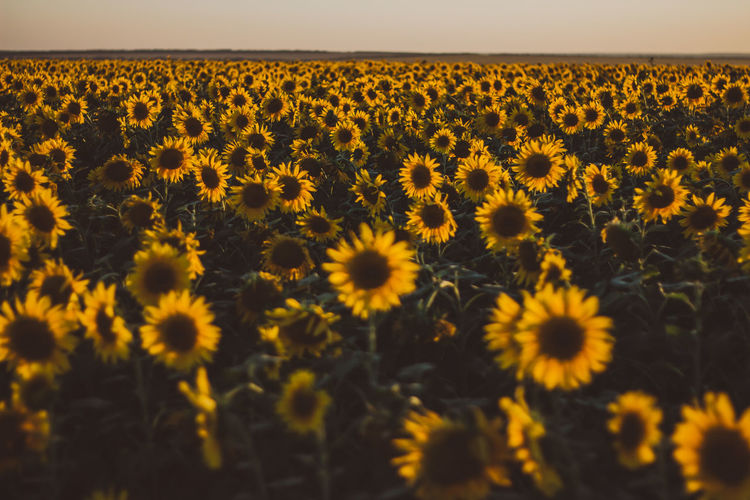 Outdoors Outdoor Tranquility Tranquil Scene Tranquil Flower Flowering Plant Plant Freshness Beauty In Nature Land Landscape Yellow Growth Field Flower Head Environment Scenics - Nature Fragility Vulnerability  Nature Agriculture Inflorescence No People Sunflower Outdoors Pollen