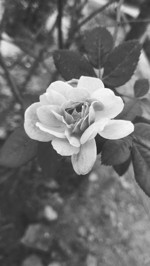 black n white rose Flower Head Flower Petal Uncultivated Leaf Close-up Plant Pale Pink In Bloom Botany Blooming Plant Life Flowering Plant Blossom Single Rose