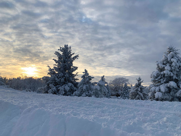 Snow covered pine trees on field against sky during sunset
