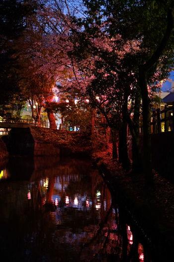 夜桜 Spring Cherry Blossom Tree Water Branch Reflection Illuminated Sky