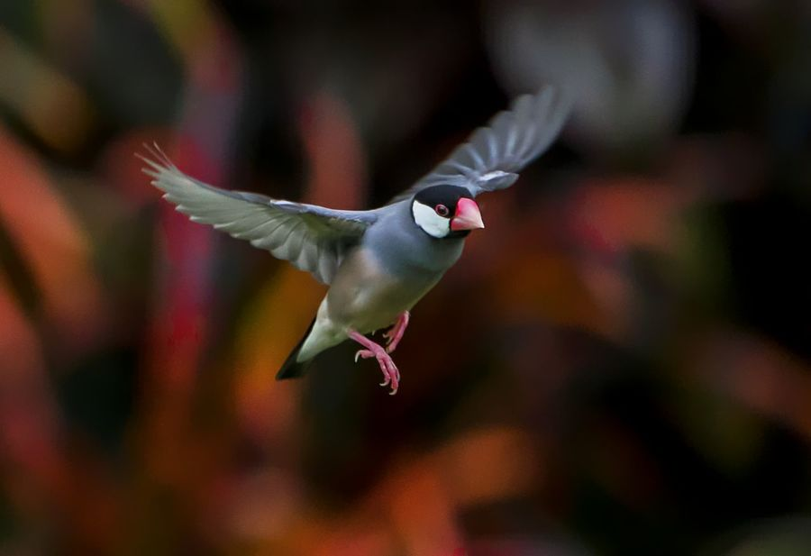 Java Sparrow in flight Hawaii Red Animal Themes Animal Wildlife Animals In The Wild Beauty In Nature Bird Close-up Day Flying Focus On Foreground Mid-air Motion Nature No People One Animal Outdoors Spread Wings