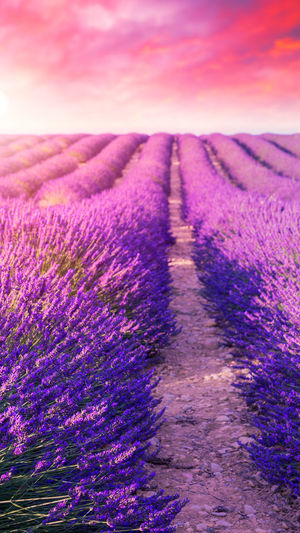 Purple flowering plants on field against sky during sunset