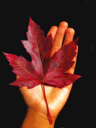 Leaf Autumn Human Hand Human Body Part Change One Person Maple Leaf Human Finger Personal Perspective Black Background Holding Nature People Close-up Red Beauty In Nature Adult Fragility One Woman Only Outdoors L. Jeffrey Moore IPhone7Plus IPhone Photography Tree The Week On EyeEm Perspectives On Nature
