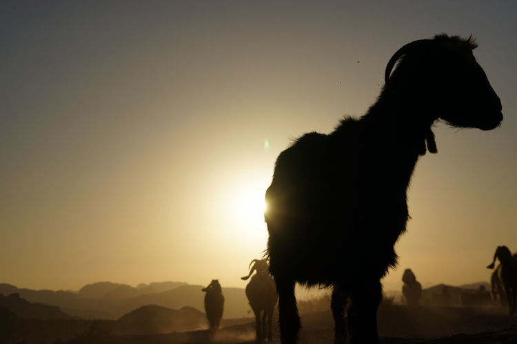 Silhouette goats at wadi rum desert against clear sky during sunset