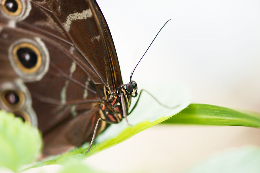 butterfly Invertebrate Close-up Animal Themes Animal Wildlife One Animal Insect Animal Animals In The Wild Selective Focus Animal Antenna No People Animal Wing Plant Part Animal Body Part Leaf Green Color Macro Day Nature Extreme Close-up Butterfly - Insect Butterfly