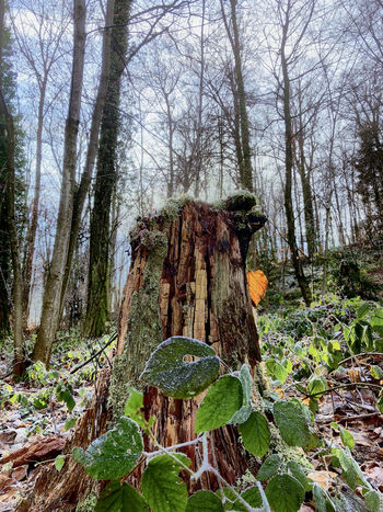 iPhone X Winter Bare Tree Beauty In Nature Branch Day Dead Tree Forest Growth Nature No People Outdoors Sky Tranquil Scene Tranquility Tree Tree Trunk WoodLand