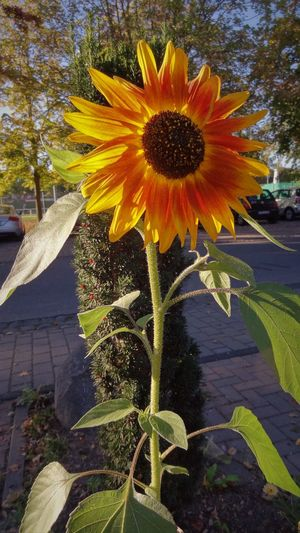 Sunflower Beauty In Nature Blooming Close-up Day Eifeltour Flower Flower Head Flowers Fragility Freshness Growth Nature No People Outdoors Petal Plant Pollen Yellow
