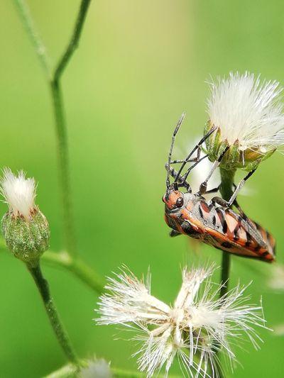 serangga Flower