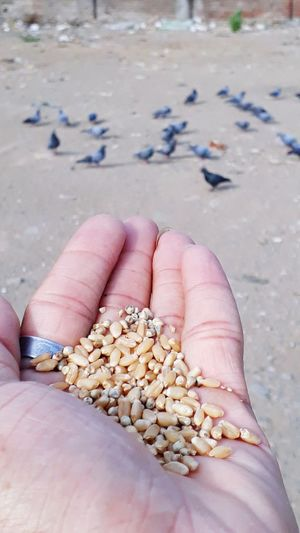 Cropped hand feeding wheat to birds