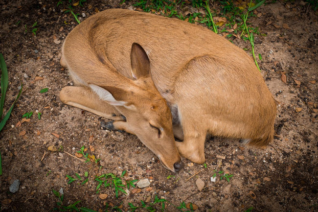 sleeping deer with smile eye Deer Green Natural Nature Reindeer Tree Animal Antler Autimn Background Brown Color Cute Forest Ground Mammal Park Portrait Season  Sleeping Smile White Wild Wildlife Yellow