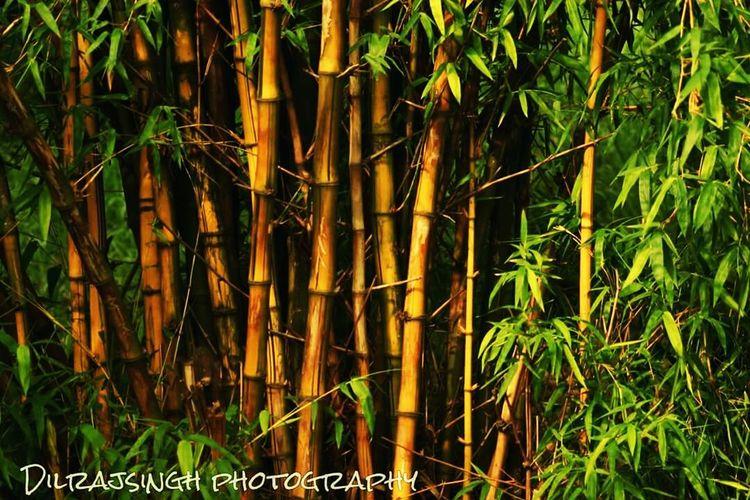 Growth Forest Tree Bamboo Delhi DelhiNCR Delhiexplorer Nehrupark Unexploredparadise WoodLand Outdoors Tourism Beauty In Nature Nature Plant Scenics Wallpaper Growth Forest Tree Plant Tree Trunk Nature Tranquility Scenics