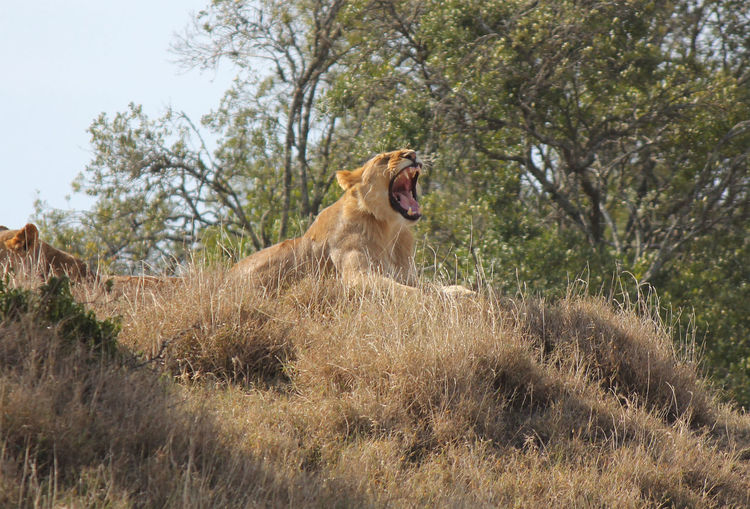 Low Angle View Of Lioness Yawning On Field