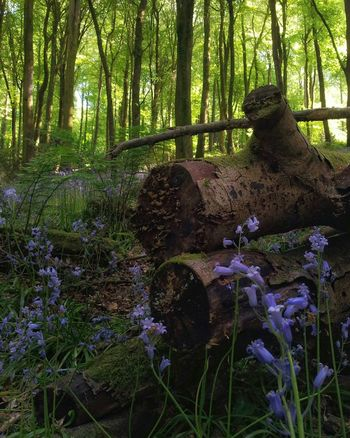 Forest Intheforest Bluebell Wood Serenity