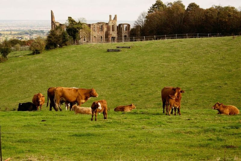 Grass Cow Animal Themes Field Cattle Domestic Animals History Old Ruin English Countryside English Ruins