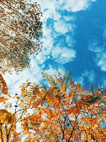 Lookin'up Tree Low Angle View Nature Beauty In Nature Growth Sky Blue Autumn Branch No People Springtime Outdoors Day Flower Treetop Cloud - Sky Fragility Freshness VSCO Vscocam Vscogood IPhoneography