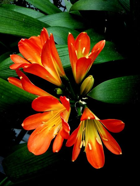 Flower Beauty In Nature Close-up In Bloom Blooming Blossom Plant Potted Plant Beautiful Flower Clivia Clivia Plant