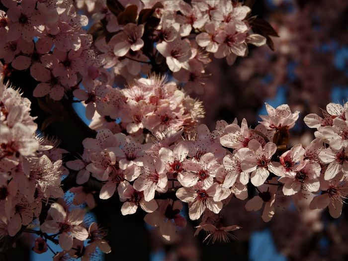Branch Cherry Cherry Blossom Cherry Blossoms Cherry Flower Cherry Flowers Cherry Tree Flower Flowers Freshness Hide And Seek Light And Shadow Nature Pink Pink Color Pink Flower Sakura Shadow Shadows & Lights Sky Springtime Sunny Sunny Day Tree Tree