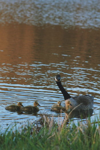 Canonrebelt5 Canonphotography Canon Nature Photography Bird Photography Reflection Gosslings Mothergoose Bird Water Swimming Lake Animal Themes Grass Water Bird