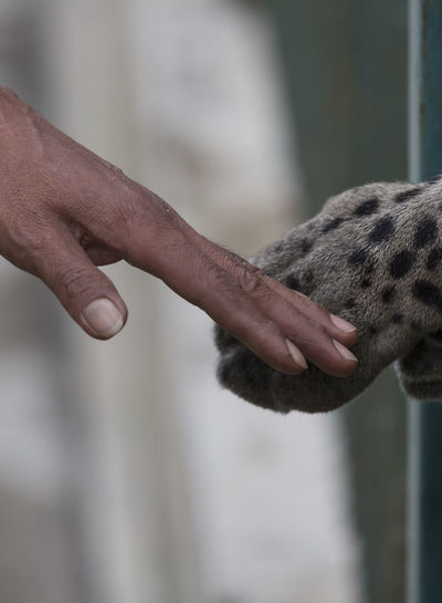 Cropped Image Of Hand Touching Leopard Paw In Zoo
