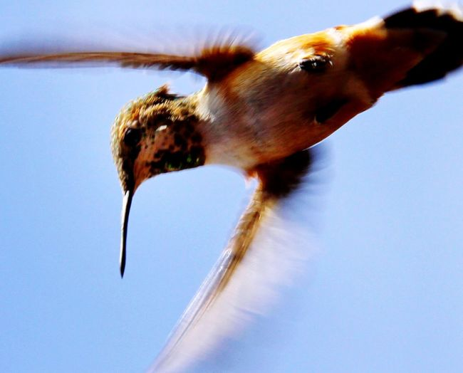 Rufous Hummingbird . EyeEm Nature Lover Birds Birdwatching Backyard Birder EyeEm Best Shots
