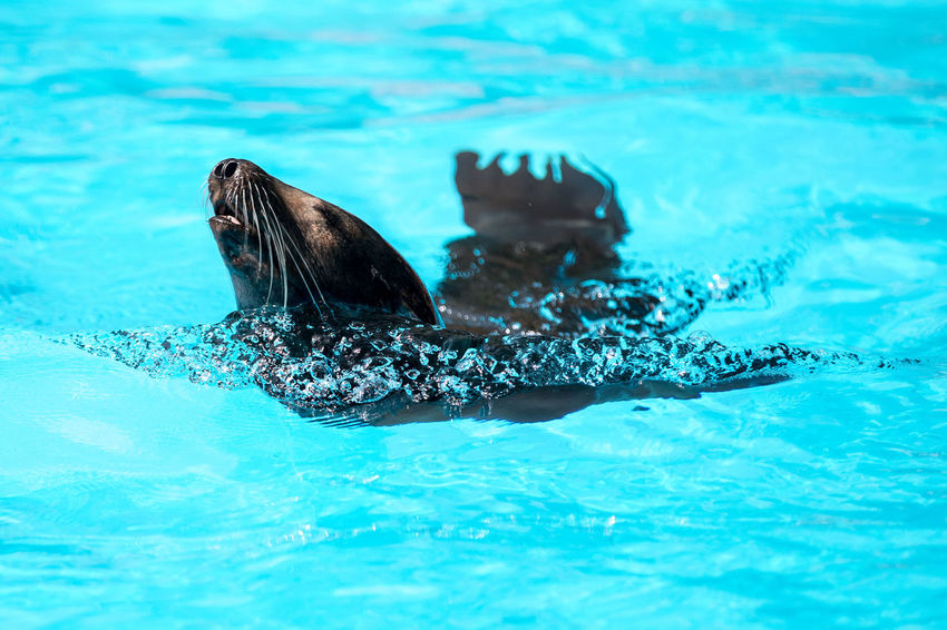 Animal Themes Close-up One Animal Seelöwe Swimming Swimming Pool