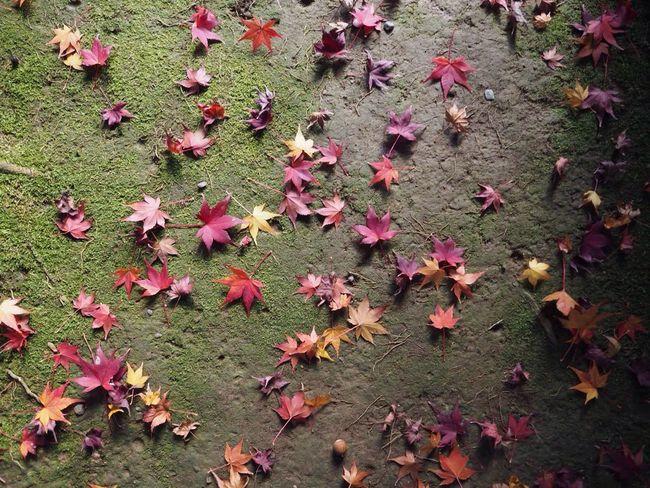 Kyoto Japan Kouetsuji Autumn Autumn Colors Momiji Temple Leaves Olympus PEN-F 京都 日本 光悦寺 寺 紅葉 秋 もみじ 葉