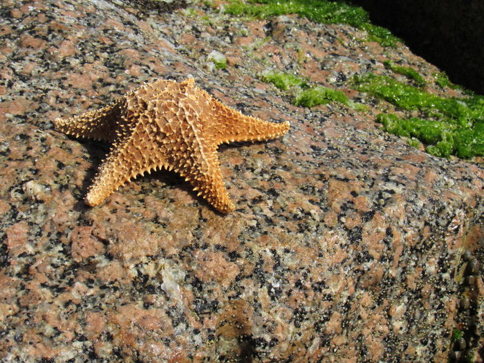 5 Stars Alive Starfish Bumps Fuzzy Sea Grass Granite Rock Gulf Of Mexico Moos On A Rock Nature Photography Ocean Creatures Outside Photography Starfish  Tan And Multicolors Textures And Surfaces Showcase July