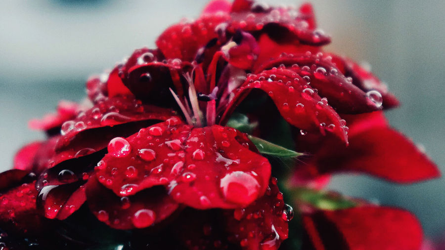 Close-up of wet red flower