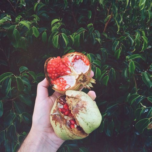Cropped Image Of Hand Holding Pomegranate