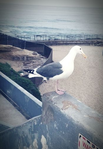Being A Beach Bum Eyeemphotography Seagull Close Up La Jolla Cove