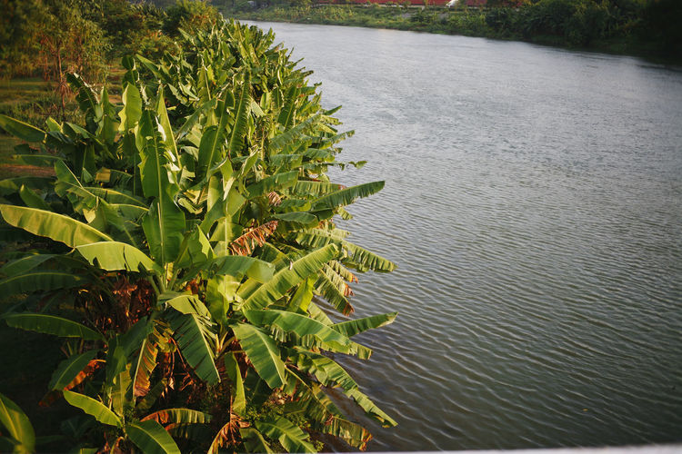 Growth Plant Plant Part Leaf Nature Green Color Beauty In Nature Tranquility No People Day Outdoors Water Tranquil Scene Tree Sunlight Land Scenics - Nature High Angle View River Leaves Banana Tree Banana Leaf