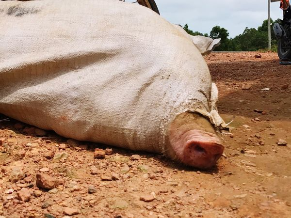 Close-up Field One Animal Livestock Lying Down Day No People Outdoors Pig Pignose  Nose Captured Helpless Fear Mammal Animal Themes Domestic Animals Sack Peek
