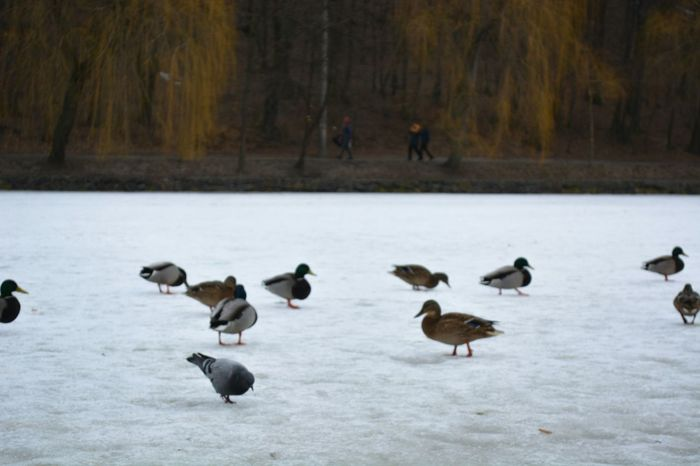 Tranquil Scene Cold Spring завораживает Serenity In Nature Bird Animals In The Wild Goose Animal Themes Animal Wildlife Canada Goose Day Winter Snow Nature Geese Lake Outdoors Cold Temperature Large Group Of Animals No People Beauty In Nature