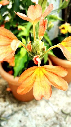 Crossandra infundibuliformis Check This Out First Eyeem Photo