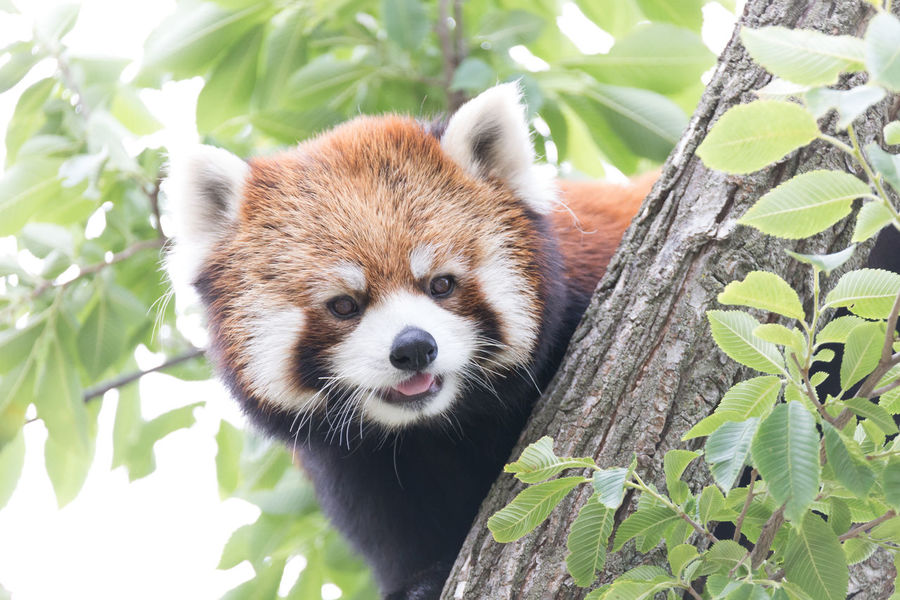 Ailurus Fulgens Alertness Animal Body Part Animal Hair Animal Head  Animal Themes Close-up Cute Day Focus On Foreground Green Color Growth Mammal Nature No People Outdoors Plant Portrait Red Panda Selective Focus Snout Whisker Zoo